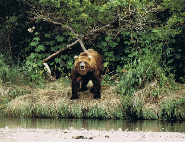 Brown bear at Kurile Lake