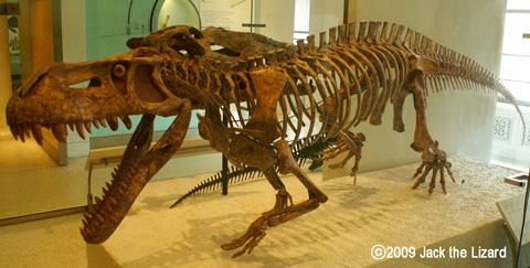 scutosaurus skeleton  Pretosuchus (Reprica), America Museum of