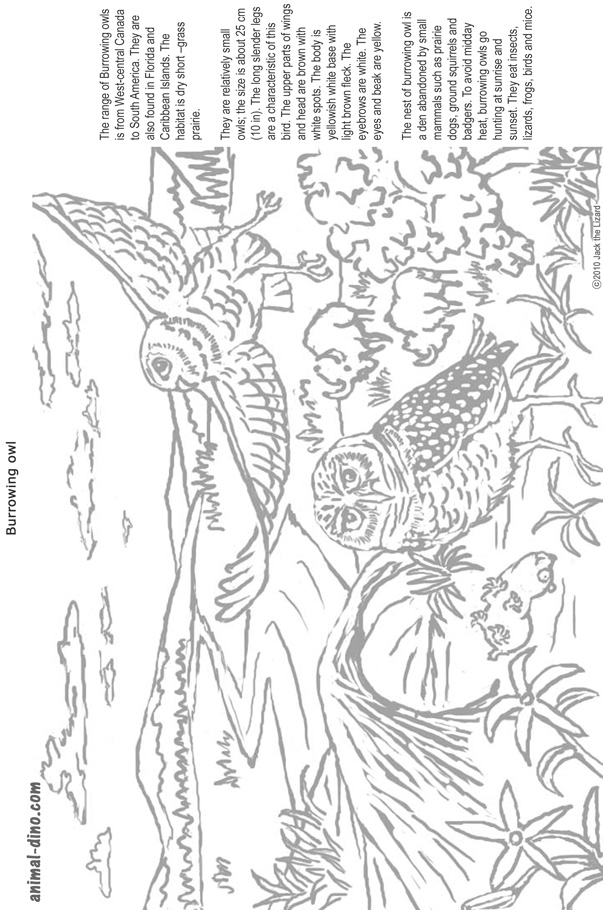 Animal Coloring Page Burrowing Owl Print Size