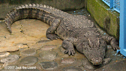 Siamese Crocodile, Atagawa Tropical U0026 Alligator Garden ...