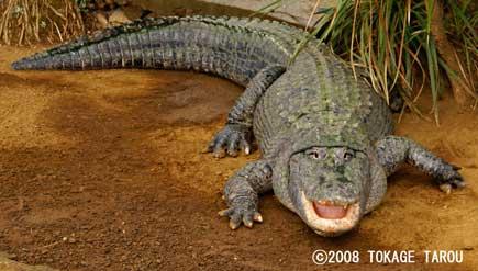 Seawater Crocodile, Atagawa Tropical U0026 Alligator Garden