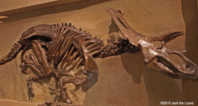 Anchiceratops, Canadian Museum of Nature