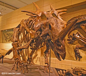 Styracosaurus, Canadian Museum of Nature