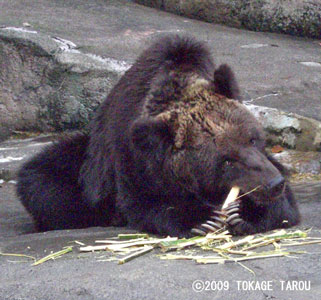 Brown Bear, Hamamatsu Zoo