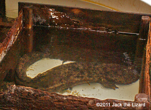 Igaguri is the oldest salamander at the zoo.