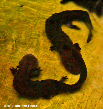 Young salamanders born in 2007