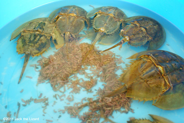 Horseshoe crab feeding - photo#26