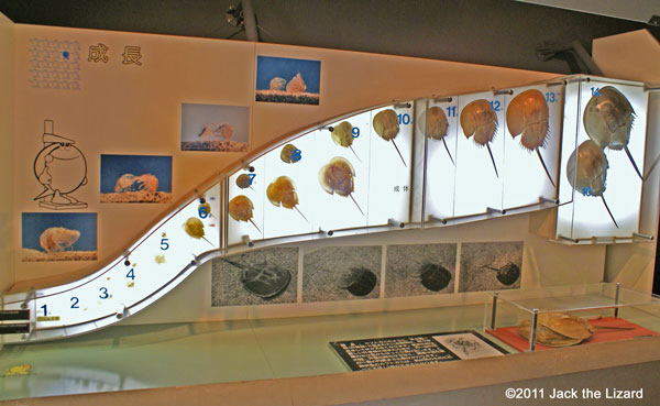 Kasaoka-city Horseshoe Crab Museum