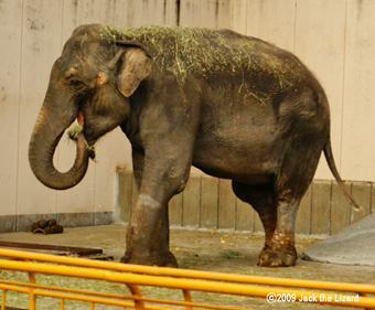 Indian Elephant, Ikeda Zoo