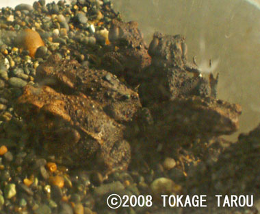 Eastern-Japanese Common Toad
