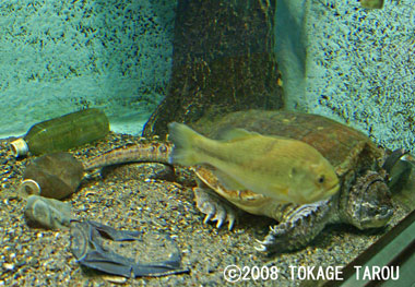 Snapping Turtle, Inokashira Zoo
