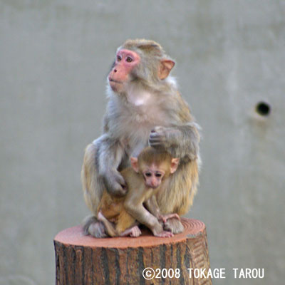 The Rhesus Macaque, Inokashira Zoo