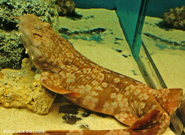 Ibaraki Prefectural Oarai Aquarium Photo Gallery - Jack the Lizard ... Oarfish Eggs