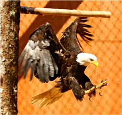 Bald Eagle, Prince Rupert Wildlife Rehab Shelter