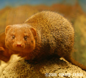Dwarf Mongoose, Saitama Children's Zoo