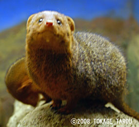 Dowarf Mongoose, Saitama Children's Zoo