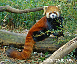 Red Panda, Saitama Children's Zoo