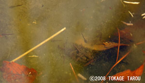 Take a look carefully. Can you see the tadpoles of Montane Brown Frogs?